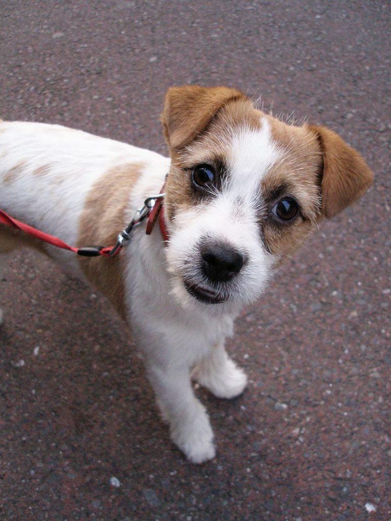 Első kutyám: ilyen egy jack russel terrier